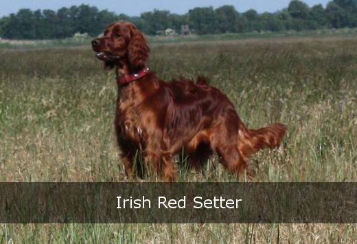 Irish Red Setter steht auf Wiese